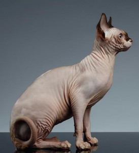sphynx-cat-sits-and-looking-forward-on-black-sergey-taran